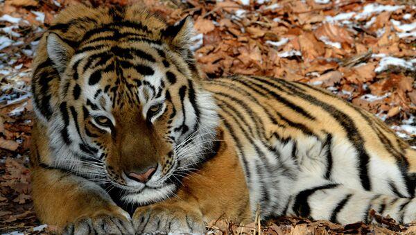 El tigre siberiano Amur - Sputnik Mundo