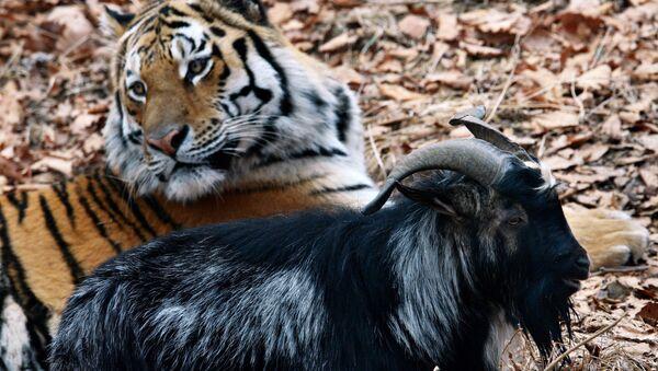 El chivo Timur y el tigre Amur - Sputnik Mundo