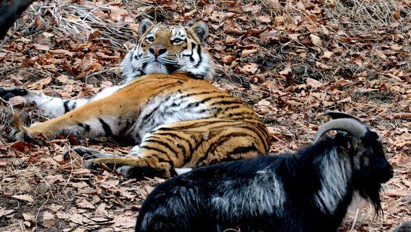 Tigre Amur con el chivo Timur - Sputnik Mundo