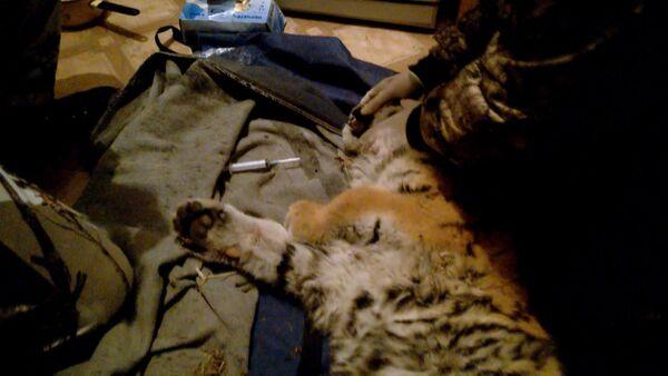 Rescate de un cachorro del tigre de Amur - Sputnik Mundo