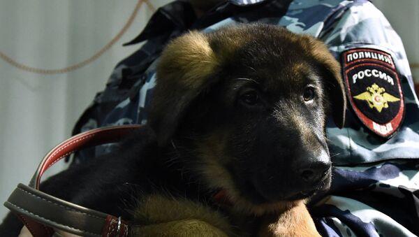 Perro policía ruso Dobrinia - Sputnik Mundo