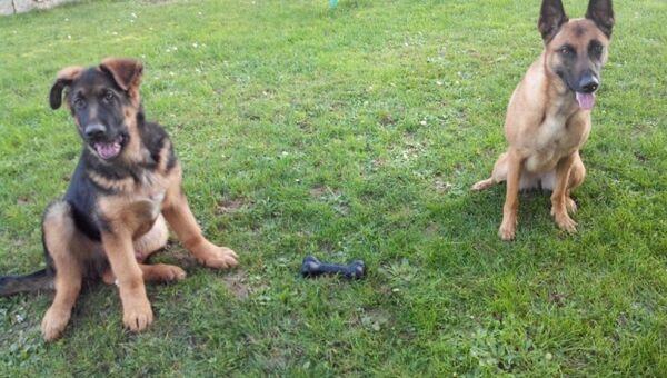 El cachorro Dobrynya con su novia, la perra de pastor belga Ali - Sputnik Mundo