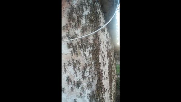 La peor invasión de langostas en 50 años destruye cosechas en Argentina - Sputnik Mundo