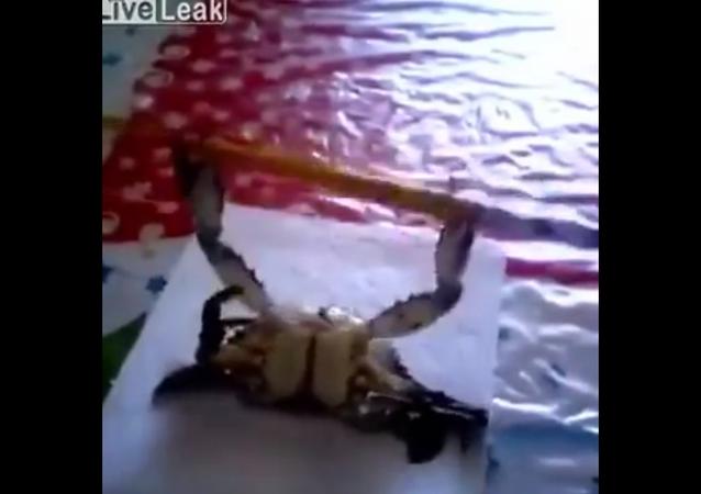 Un cangrejo levanta pesas