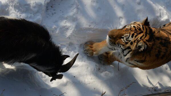 Chivo Timur y tigre Amur - Sputnik Mundo