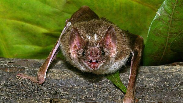 Un murciélago vampiro del género Desmodus rotundus - Sputnik Mundo