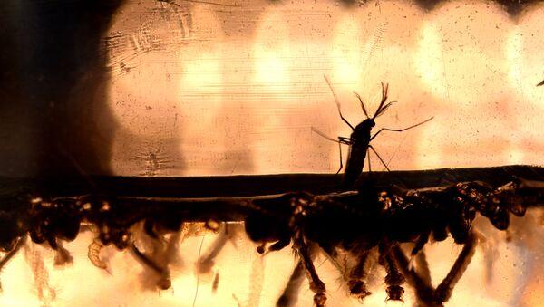 Mosquitos Aedes aegypti - Sputnik Mundo
