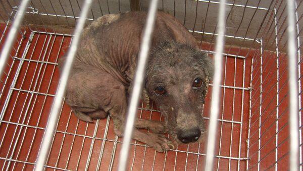 Un perrito enfermo y triste. - Sputnik Mundo