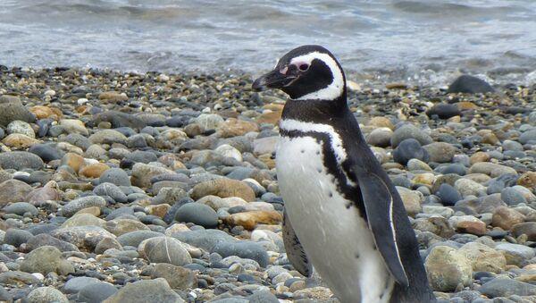 Pingüino caminando en una playa - Sputnik Mundo