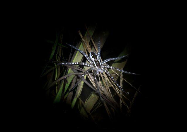 Una araña de género Dolomedes, relacionada a la especie descubierta