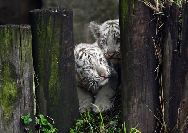 Dos cachorros de tigre de Bengala blanco en el zoológico de Buenos Aires