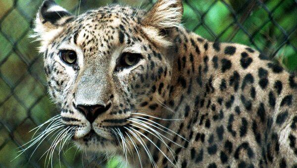 Leopardo de Persia - Sputnik Mundo