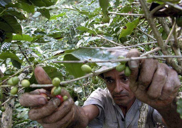 Campesino cubano recolecta granos de café
