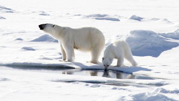 Osos polares cerca del Polo Norte - Sputnik Mundo