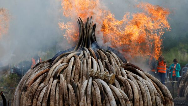 Fire burns part of an estimated 105 tonnes of ivory and a tonne of rhino horn confiscated from smugglers and poachers at the Nairobi National Park near Nairobi, Kenya - Sputnik Mundo