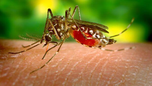 Mosquito Aedes Aegypti - Sputnik Mundo