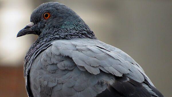Una paloma (imagen referencial) - Sputnik Mundo