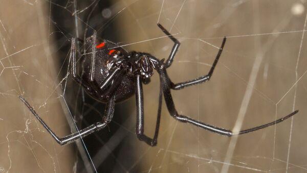 Araña del trigo o 'la viuda negra' - Sputnik Mundo