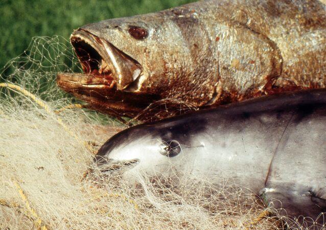 Totoaba muerta (arriba) y vaquita marina (abajo). Archivo
