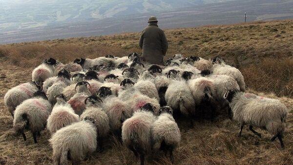 Un pastor con su rebaño de ovejas - Sputnik Mundo