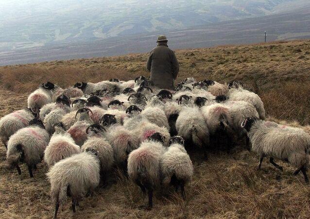 Un pastor con su rebaño de ovejas