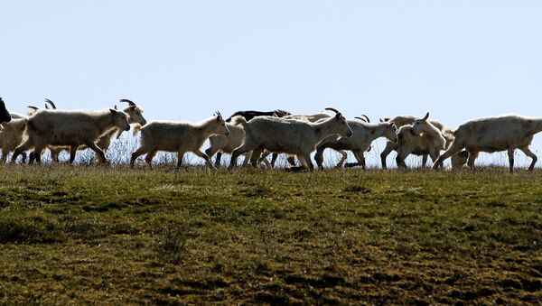 Cabras pastando - Sputnik Mundo
