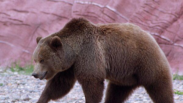 Un oso - Sputnik Mundo