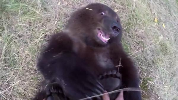 So sweet: un naturalista le hace cosquillas en los pies a un 'grizzly' - Sputnik Mundo