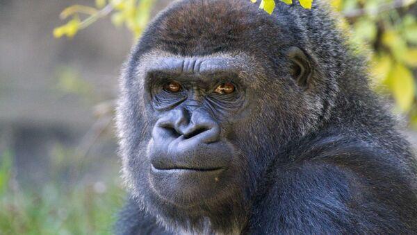 Gorilla - Sputnik Mundo