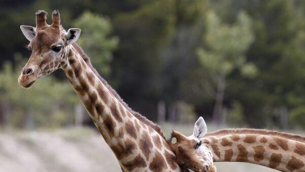 Жирафы в африканском заповеднике Сижан во Франции - Sputnik Mundo