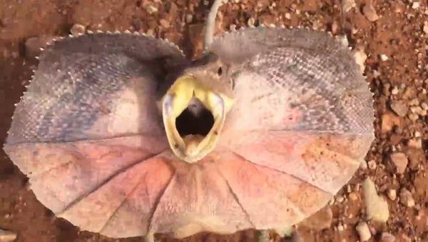 En Australia, un pequeño 'dinosaurio' furioso se enfrentó a un hombre que intentaba sacarlo de la carretera… con un palo. - Sputnik Mundo