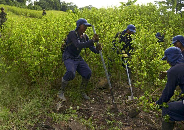 Erradicación de cultivos de coca en Colombia por parte de campesinos (archivo)