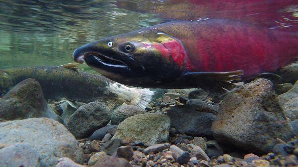 Un salmón - Sputnik Mundo