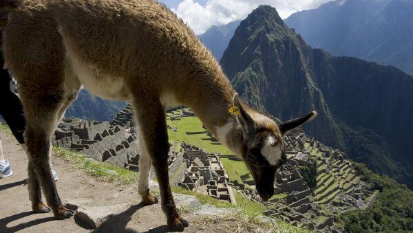 Una llama, animal típico de la región andina, pasta en Machu Picchu.  - Sputnik Mundo