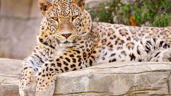El leopardo de Persia - Sputnik Mundo