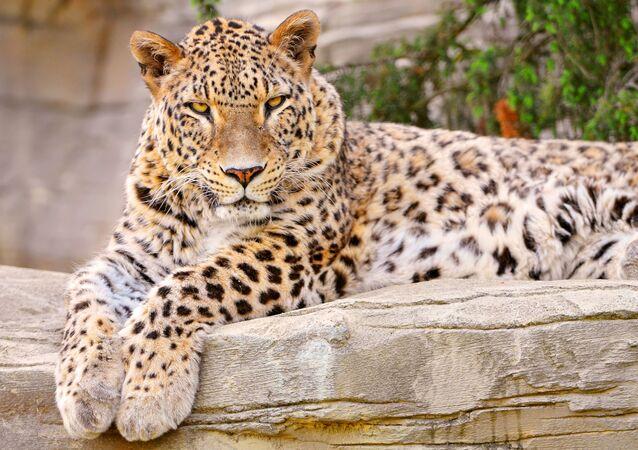 El leopardo de Persia
