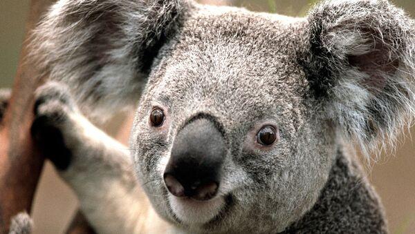 Una koala - Sputnik Mundo