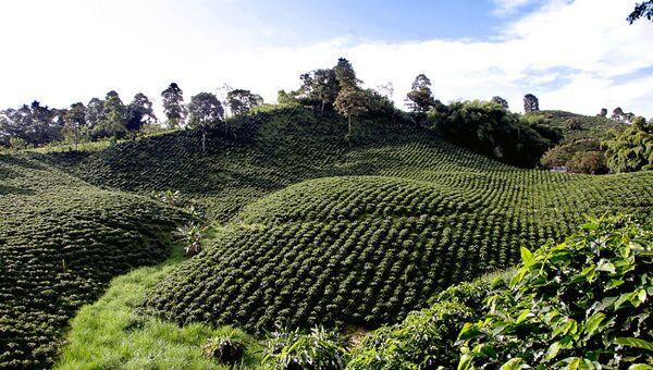 Cultivo de café en el Triángulo del Café, Colombia - Sputnik Mundo