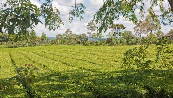 Una plantación de yerba mate en Misiones, Argentina (Archivo) - Sputnik Mundo