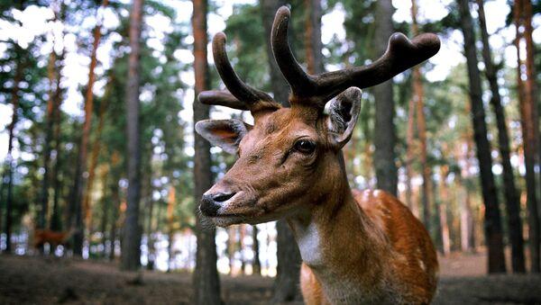 Un ciervo, animal típico del hemisferio norte - Sputnik Mundo