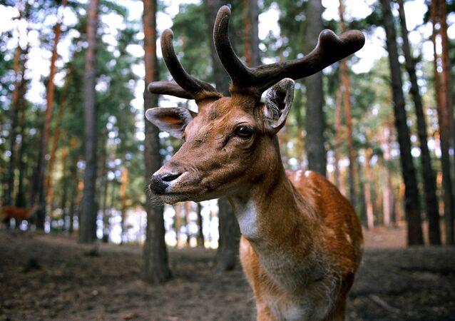 Un ciervo, animal típico del hemisferio norte