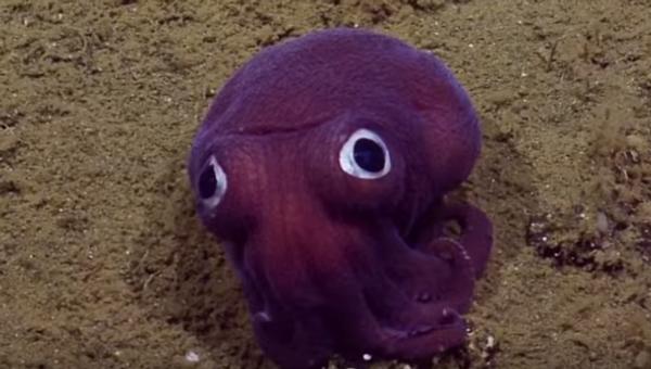 un molusco Rossia de la familia Sepiolidae - Sputnik Mundo