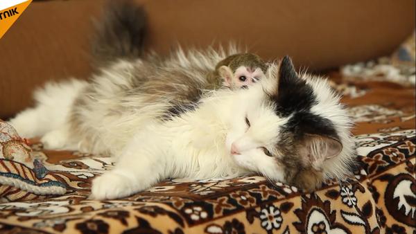 gata rusa adopta a un mono huérfano - Sputnik Mundo