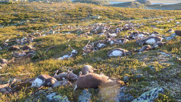 Renos muertos por un relámpago en la región noruega de Hardangervidda - Sputnik Mundo