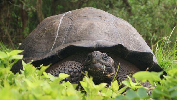 Una tortuga gigante en el Parque Nacional Galápagos - Sputnik Mundo