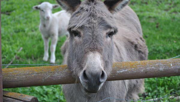 Un burro - Sputnik Mundo