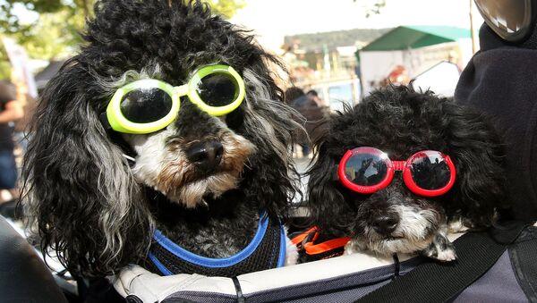 Poodles motociclistas y otras noticias del mundo animal - Sputnik Mundo