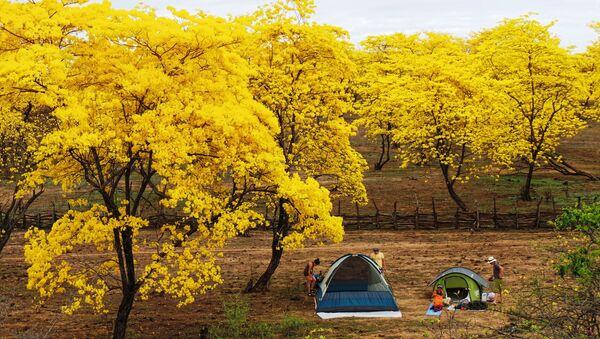 Guayacanes en flor, parroquia Mangahurco, cantón Zapotillo - Sputnik Mundo