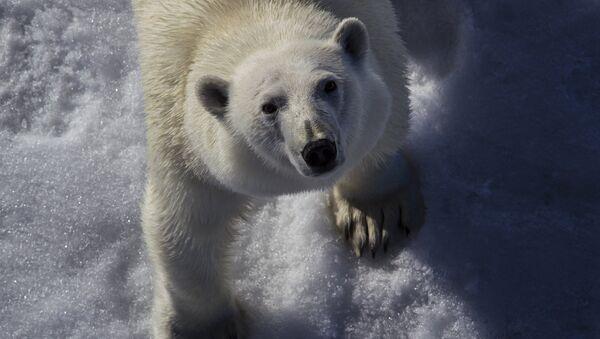 Oso polar en un parque nacional ruso - Sputnik Mundo