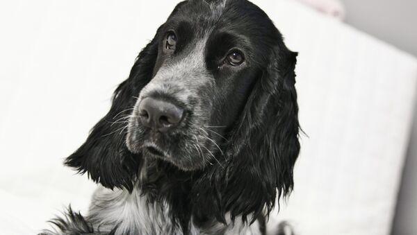 Un perro de la raza cocker spaniel - Sputnik Mundo